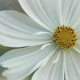 Cosmos Closeup by Terry Davis
