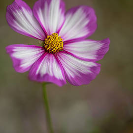 Cosmos Dance By Tl Wilson Photography by Teresa Wilson