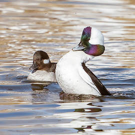 Courting Bufflehead Ducks by Judi Dressler