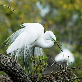 Courtship Display of Breeding Great Egret by Mary Ann Artz