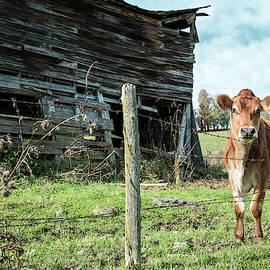 Cow By The Old Barn, Earlville Ny by Gary Heller