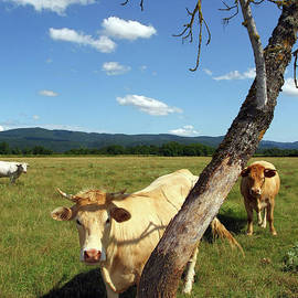 Cow hiding behind a dead tree by Gregory DUBUS