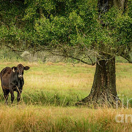 Cow in Peace, Rural Florida by Liesl Walsh