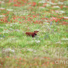 Cow in wild flower meadow by Simon Bratt Photography LRPS