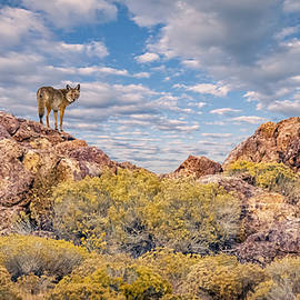 Coyote On The Rocks by Rick Mosher