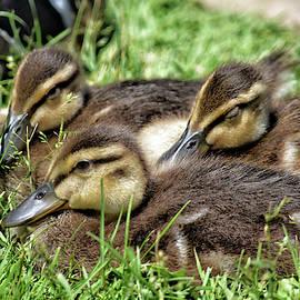 Cozy Ducklings by Maria Keady