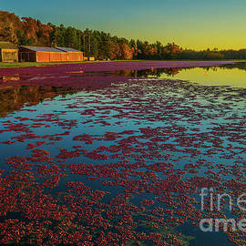 Cranberry Harvest by Linda Howes