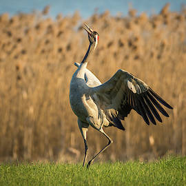 Crane Dance by Tobias Luxberg