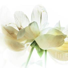 Cream Peonies by Flo Photography