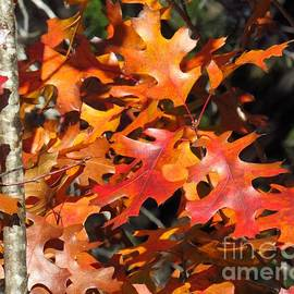 Creation by God - Fall Red Oaks by Karin Gandee