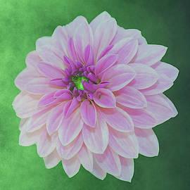 Johanna Hurmerinta - Creme Pink Dahlia On Green