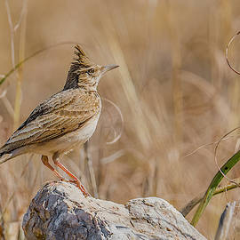 Crested Lark Perched by Morris Finkelstein