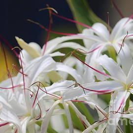 Crinum Lily Closeup by Carol Groenen