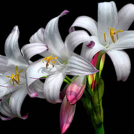 Crinum Lily - Mrs. James Hendry 019 by George Bostian