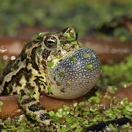Croaking Canadian Toad by James Peterson