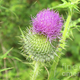 Crown Thistle by Mary Mikawoz