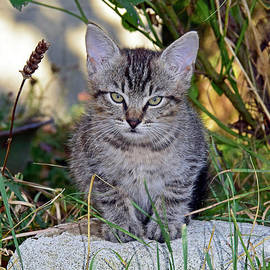 Cunning grey kitten by Tibor Tivadar Kui
