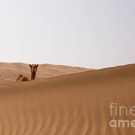 Curious camel in the desert by Patricia Hofmeester