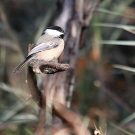 Curious Chickadee by Larry Kniskern