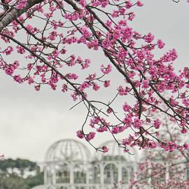Curitiba Cherry by David Farlow