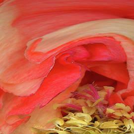 Curled Rose by Carel Schmidlkofer