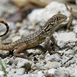 Curly-tailed Lizard by Meg Rousher