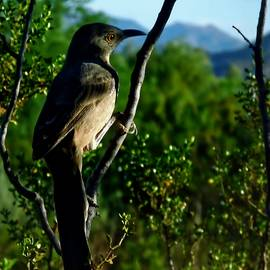Curve-Billed Thrasher on Creosote by Judy Kennedy