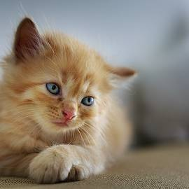 Cute Orange Kitty by Top Wallpapers