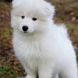 Cute samoyed dog puppy in forest by Juhani Viitanen