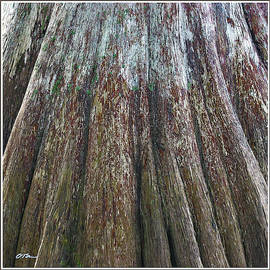 Cypress Trunk Detail by Claudia O'Brien