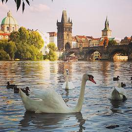 Czech Swans Swimming by Andrea Whitaker