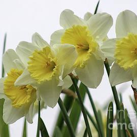 Daffadowndilly Daffodils by Karen Adams