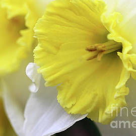 Daffodil Delight by Karen Adams