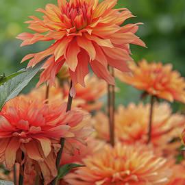 Dahlia Autumn Fairy 6 by Jenny Rainbow