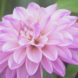 Dahlia Beauty by Mary Ann Artz