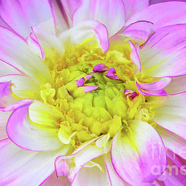 Dahlia Blossom in Mauve,White and Yellow  by Regina Geoghan