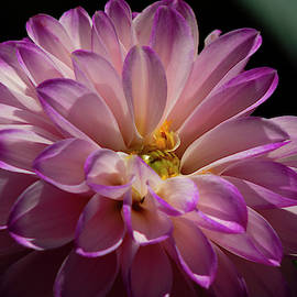 Dahlia by Denise Harty
