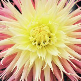 Dahlia Normandie Frills Flower by Tim Gainey