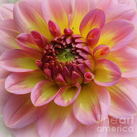 Dahlia Radiant in Pink and Gold by Dora Sofia Caputo Photographic Design and Fine Art