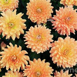 Dahlia Renato Tosio Flowers by Tim Gainey