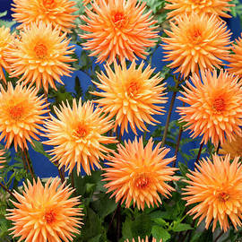 Dahlia Tom Mcclelland Flowers by Tim Gainey