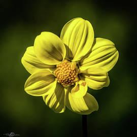 Dahlia 'yellow Hammer' by Torbjorn Swenelius
