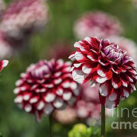 Dahlias Garden by Eva Lechner