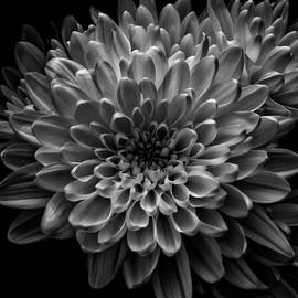 Dahlias in Full Bloom in Black and White by Denise Harty