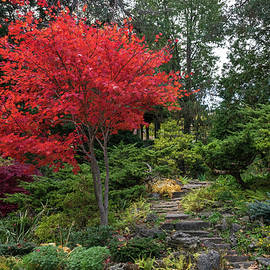 Dainty Red Beauty - Glorious Japanese Maple by the Path by Georgia Mizuleva