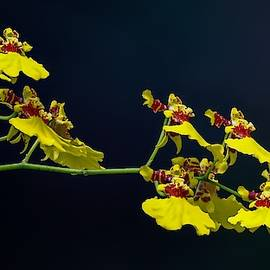 Dancing Lady Yellow Orchids by Art Shack