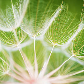 Dandelion closeup with green background by Vishwanath Bhat