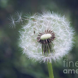 Dandelion Dream by Sharon McConnell
