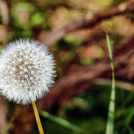 Dandelion by Judi Saunders