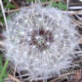 Dandelion Seedhead by PROMedias Obray